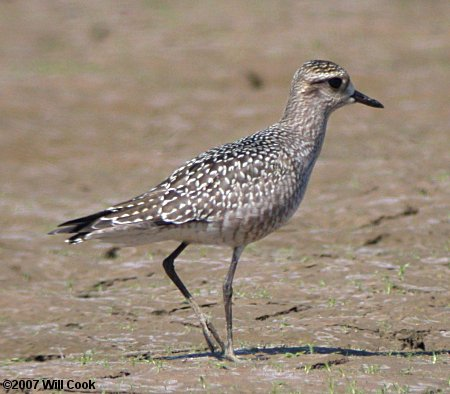 American golden plover pluvialis dominica freerunsca Images