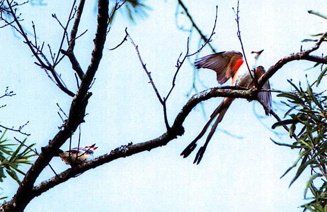 Breeding Scissor-tailed Flycatchers near Monroe, NC