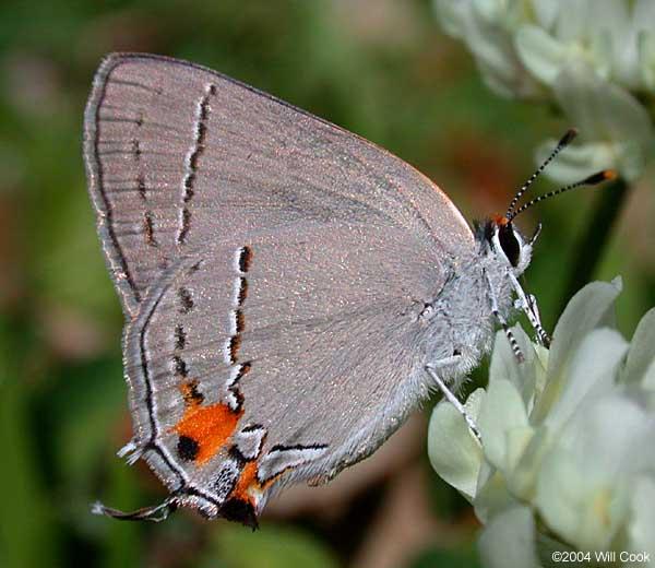 Gray Caterpillars That Are Big: Gray Hairstreak (Strymon Melinus