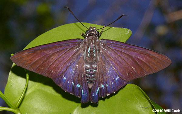 Florida Butterfly Photos Skippers