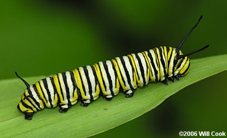 black and white caterpillar. The boldly banded lack, white