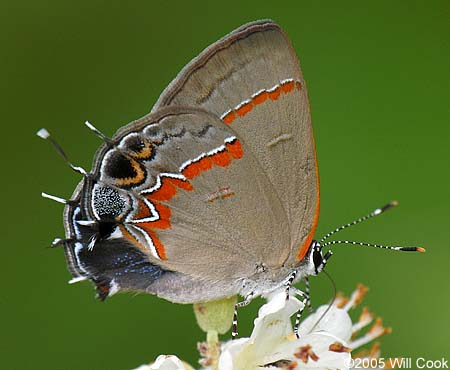 Red Banded Hairstreak Calycopis Cecrops