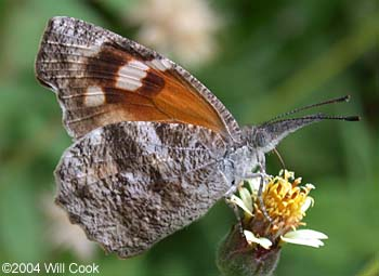 Butterfly genus species - American Snout 1