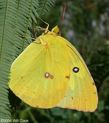 http://www.carolinanature.com/butterflies/tl0411.jpg