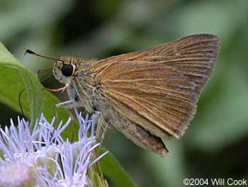 Image result for images of violet crepuscular skipper butterfly