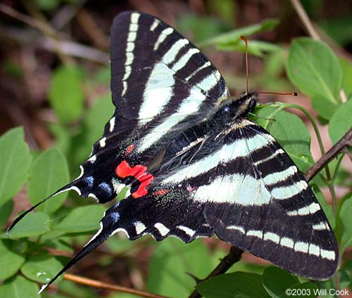 http://www.carolinanature.com/butterflies/zebraswt4435.jpg