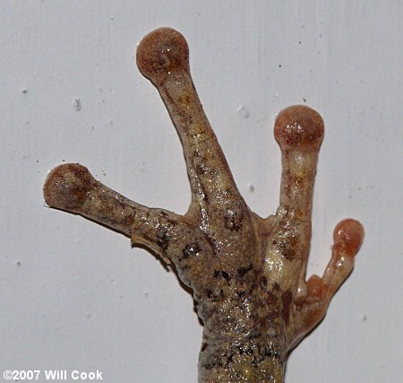Cope S Gray Treefrog Hyla Chrysoscelis