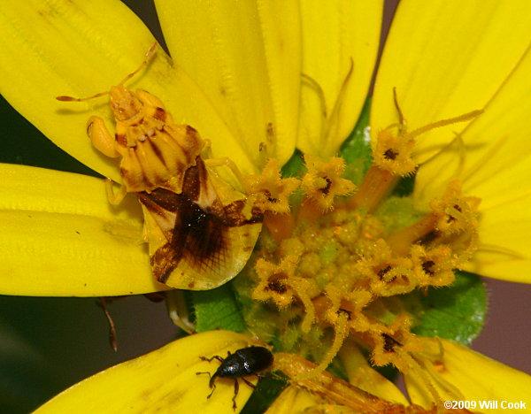 Ambush Bugs (Phymatinae)