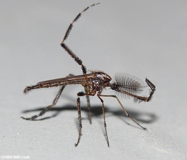 Gallinipper Mosquito Bite Gallinipper Mosquito Giant