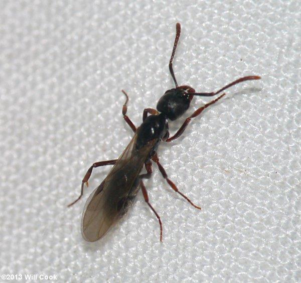 winged termite identification