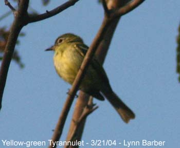 how to tell western kingbird and yellow bellied flycatcher apart