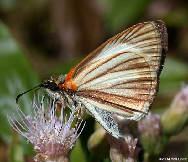 Veined White-Skipper (Heliopetes arsalte)