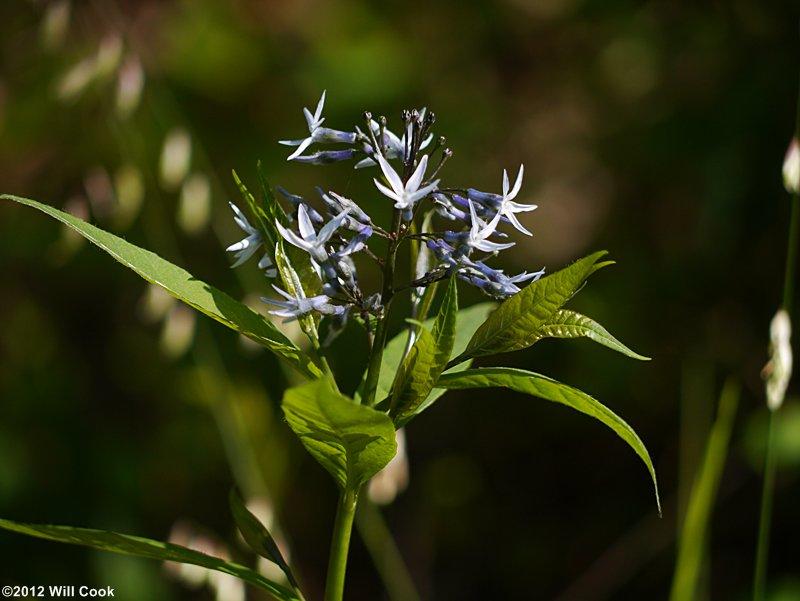 Willow Blue Star Amsonia Tabernaemontana Wideleaf Blue Stars Amsonia