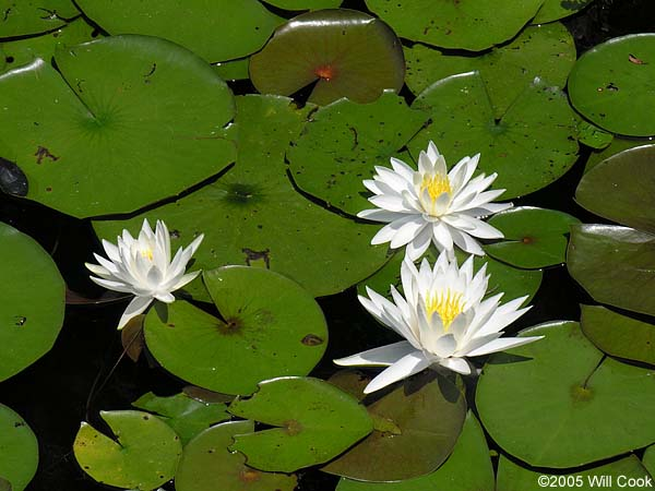 American White Water Lily - Barrier Island Ecology UNCW