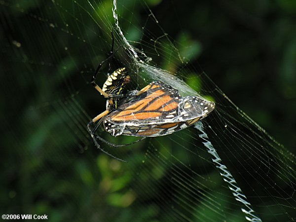 Black-and-Yellow Argiope (Argiope aurantia)