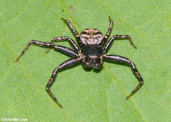 N Spiders North Carolina Spider ...