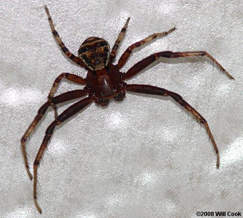 N Spiders North Carolina ...