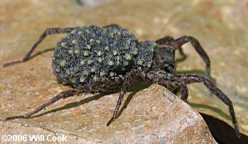 IMAGE(http://www.carolinanature.com/spiders/spider6343.jpg)