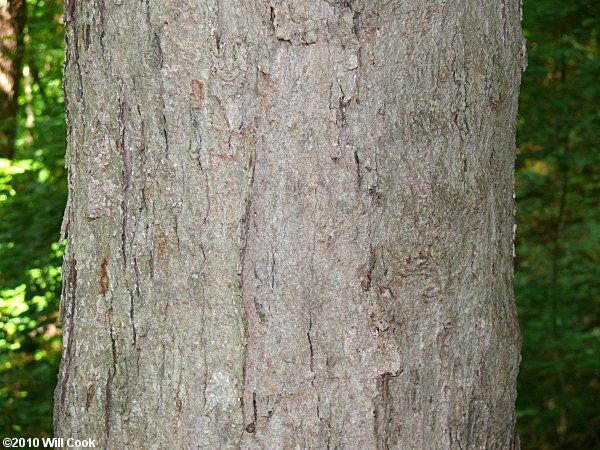 Southern Sugar Maple (Acer floridanum)