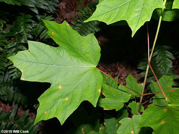 Sugar Maple (Acer saccharum) | 600 x 450 jpeg 87kB