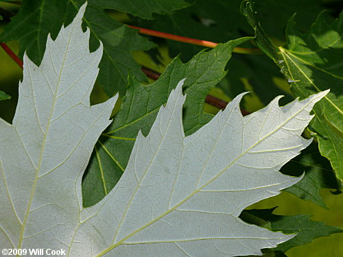 Silver Maple Acer Saccharinum
