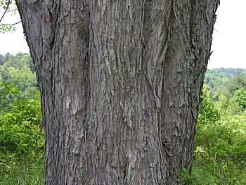 Sugar Maple Tree The high sugar content of the Sugar Maples sap makes it ideal for tapping The presence of the Sugar Maple leaf on the Canadian flag illustrates the importance of this tree in Canada