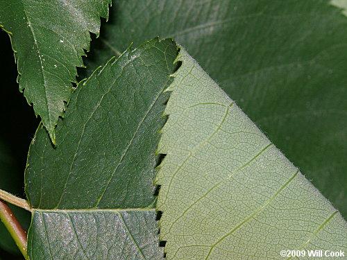 Amelanchier Arborea Leaf