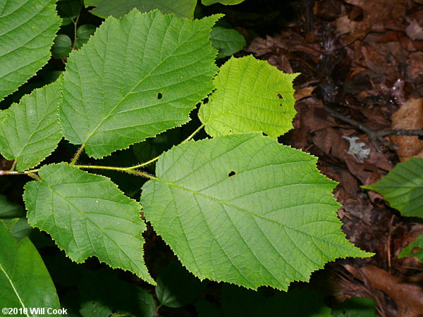 American Hazelnut (Corylus americana)