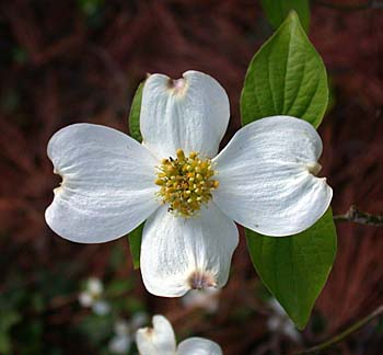 Picture Dogwood Flower on Flowering Dogwood Is The North Carolina State Flower  The Actual