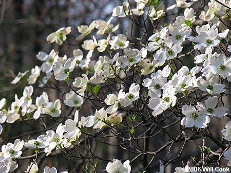 Flowering dogwood cornus florida flowering dogwood cornus florida flowers mightylinksfo