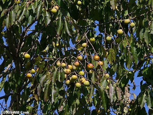 Common Persimmon Diospyros Virginiana
