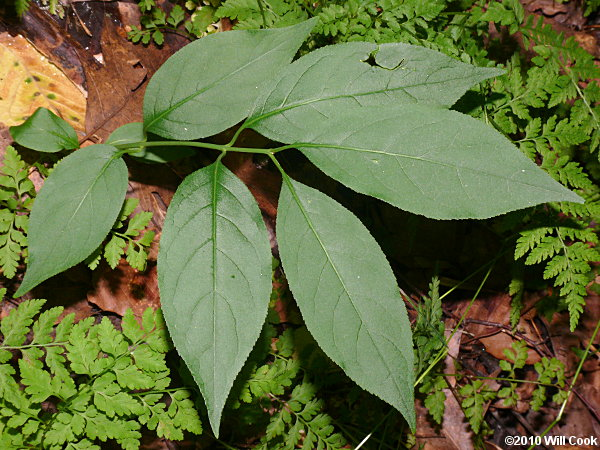 Lobed And Toothed Leaves Finely Toothed Leaves