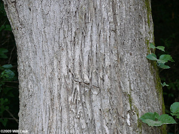 Ash Wood Bark ~ White ash fraxinus americana