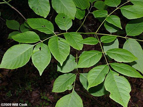 White Ash (Fraxinus americana) leaves