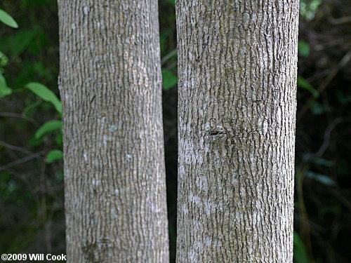 Ash Wood Bark ~ Pumpkin ash fraxinus profunda