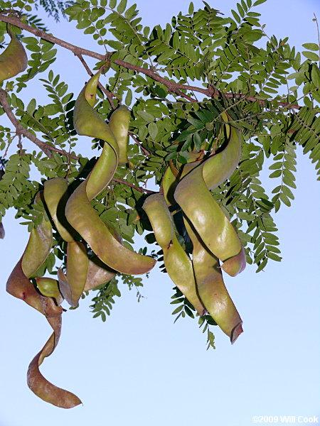 Black locust tree pods