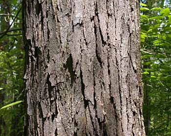 Honeylocust (Gleditsia triacanthos)