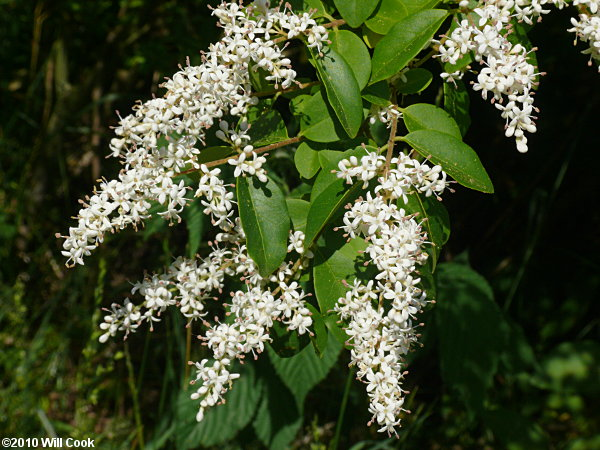 Chinese privet ligustrum sinense chinese privet ligustrum sinense flowers mightylinksfo Image collections