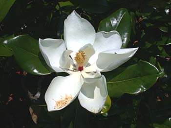Southern magnolia magnolia grandiflora southern magnolia magnolia grandiflora flower mightylinksfo