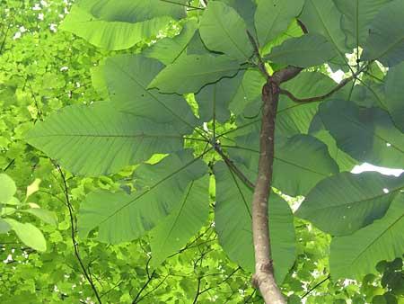 Bigleaf Magnolia Leaf Traffic Club