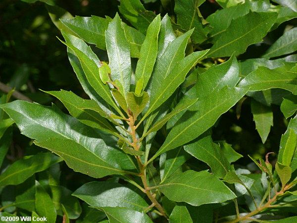 Bay Bush Plant