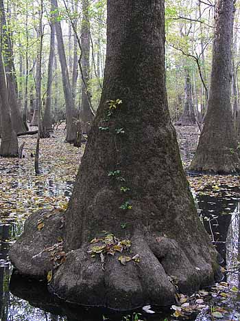 Water Tupelo Trees