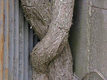 Virginia Creeper Parthenocissus Quinquefolia