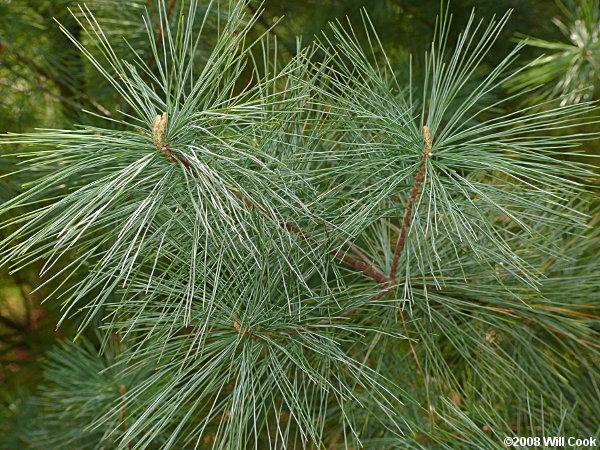 Image result for white pine