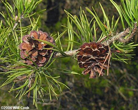 Virginia Pine Pinus Virginiana