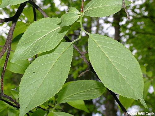 American Plum Prunus Americana Leaves