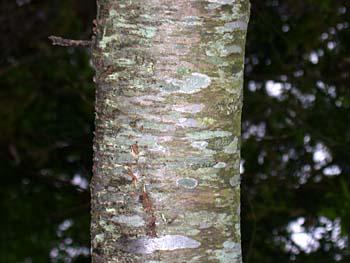 Black Cherry  Prunus serotina  Prunus Serotina Bark