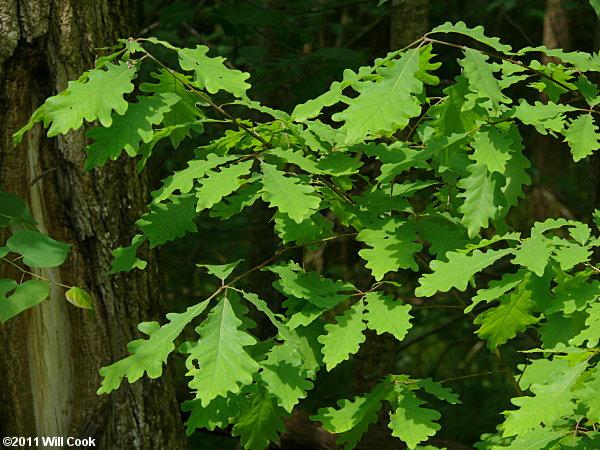 Quercus Bicolor Bark White Oak (Quer...