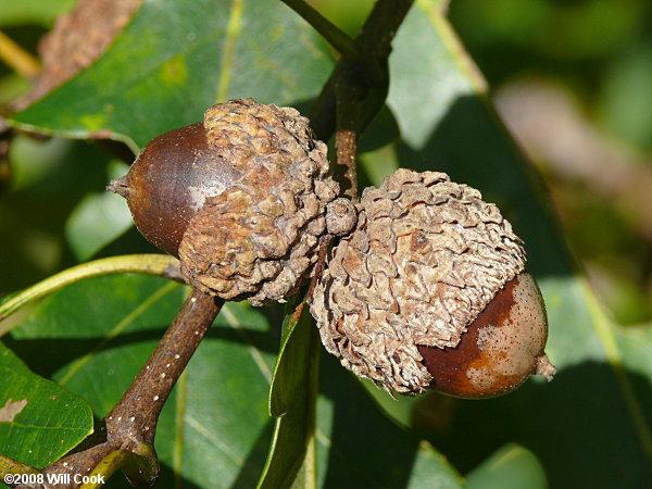 Quercus Alba Acorn