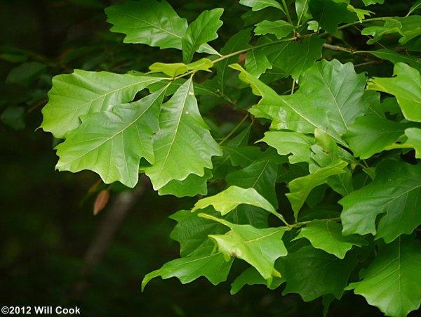 White Oak Leaf ~ Swamp white oak quercus bicolor